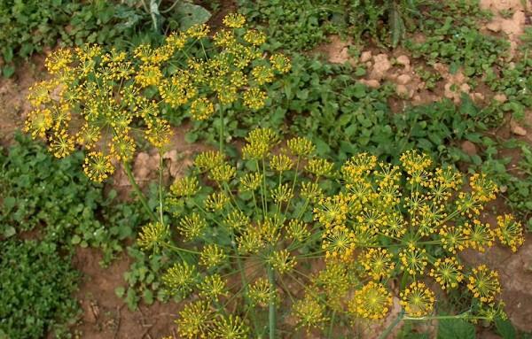 Dill (Anethum graveolens)