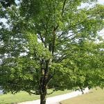 Zuckerahorn (Acer saccharum)