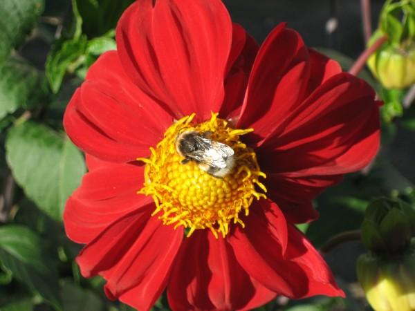Dahlie (Dahlia spec.)