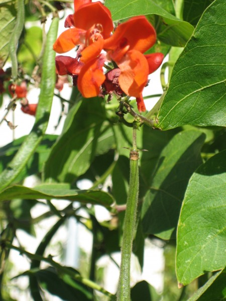 Feuerbohne (Phaseolus coccineus)