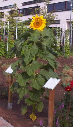 Riesensonnenblume (Helianthus maximilianii)