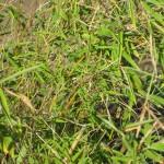 Muriel - Bambus (Fargesia murielae)