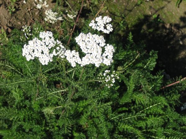 Wiesenschafgarbe (Achillea millefolium)