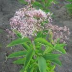 Purpur-Wasserdost (Eupatorium purpureum)